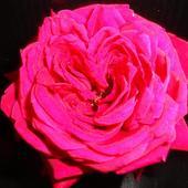 Dla Majki róża z sercem