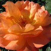 jesienna róża ................