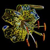 Lilia złotogłów innaczej