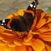 ostatnie motyle ..............