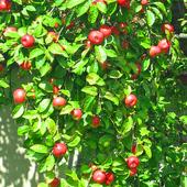 pysznią się jabłonie !