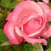 Róża i perełki