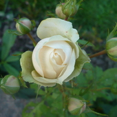 Różyczka dla Was kochani