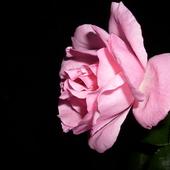 Wieczór z różą