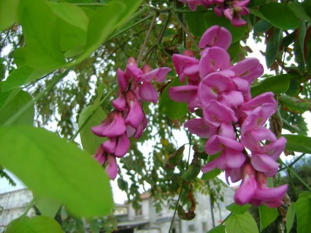 akacja i rozowe kwiaty?