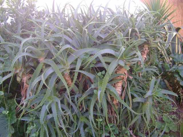 aloes gigant