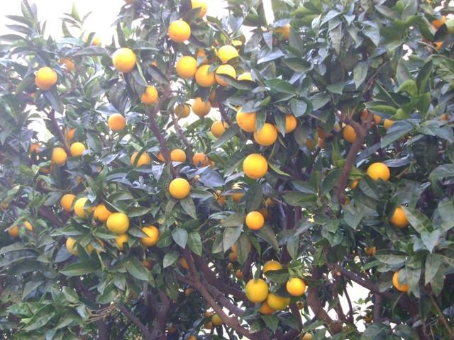 mandarynki prosto z drzewa