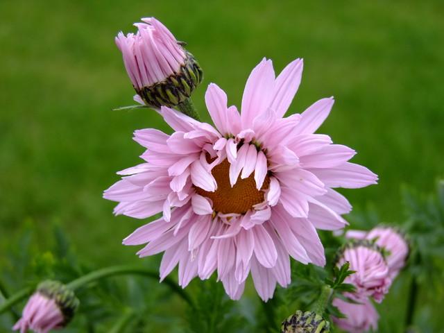 Złocień różowy