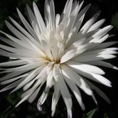 biały marcinek ........