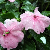 deszczowe kwiaty