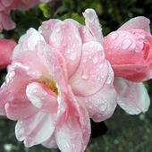 deszczowe róże