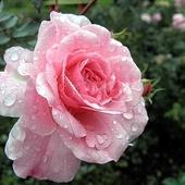 kropelkowa róża...