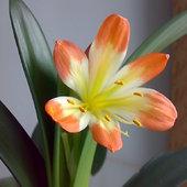 Kwitnąca kliwia