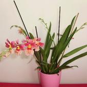 orchidea Burrageara