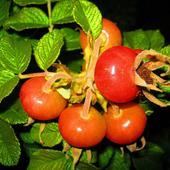 ostatnie różane owoce ......