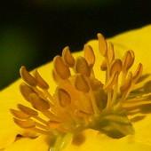 Pięć żółtych płatków