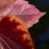 Płomienne liście