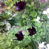 tulipany czarne, papuzie i narcyze