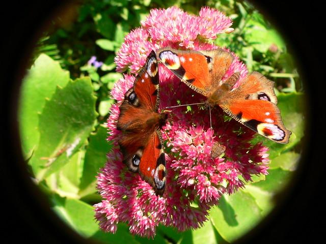 Dwa motylki i mała....