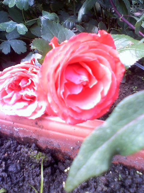 Róża jak malinka ...