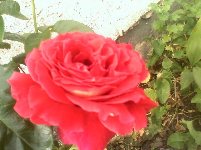 Różo , różo , mój ty kwiecie .....