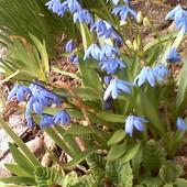 Cebulica - aby do wiosny :)