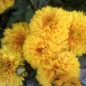 Chryzantemy - żółe słońce .