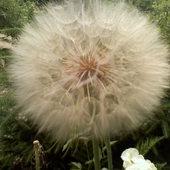 Dmuchawce , latawce , wiatr ........