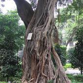 Drzewo kroczące