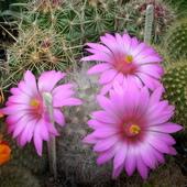 Jednodniowe kwiatuszki