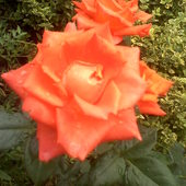 Jesienna róża...
