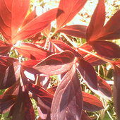 Jesienne liście peoni .