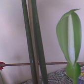 Kwiat Alokazji