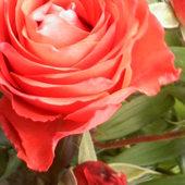 Przyciąga cię róża ...