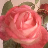Róża co z latem rozkwita ....