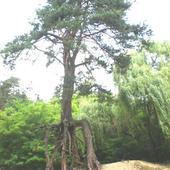 Sosna pospolita (Pinus silvestris)