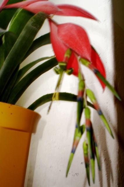 Kwiatostan Bilbergii