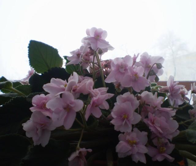 Niezniszczalny różówy fiołek...:)