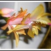 grudnik , kaktus bozonarodzeniowy