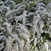 Jak w śniegu - a to kwitnąca tawuła