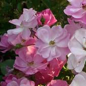 Malutkie różyczki