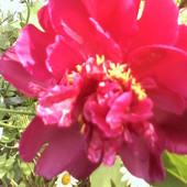 Peonia - różowych snów.