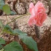 Róże w ruinach