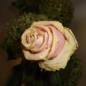 Uroda zasuszonej róży