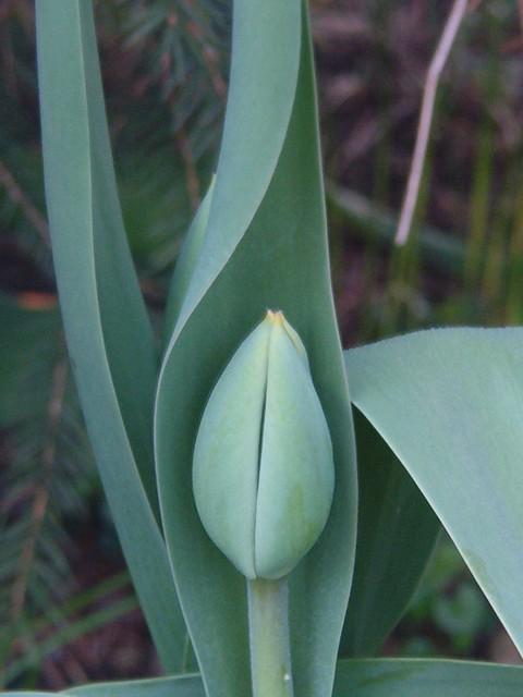 zakapturzony tulipan