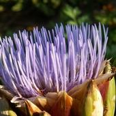 fioletowa miotełka