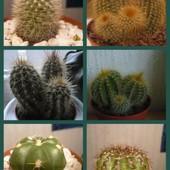 Kaktusikowy kolaż