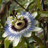 kwiat męczenicy
