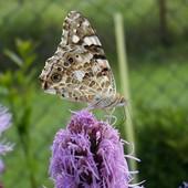 liatris z motylkiem