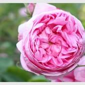 Róża latem